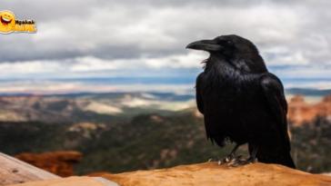 Fakta Unik Gagak Si Burung Pembawa Sial yang Cerdas
