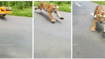 Viral Video Macan Hampir Menerkam Pengendara Motor