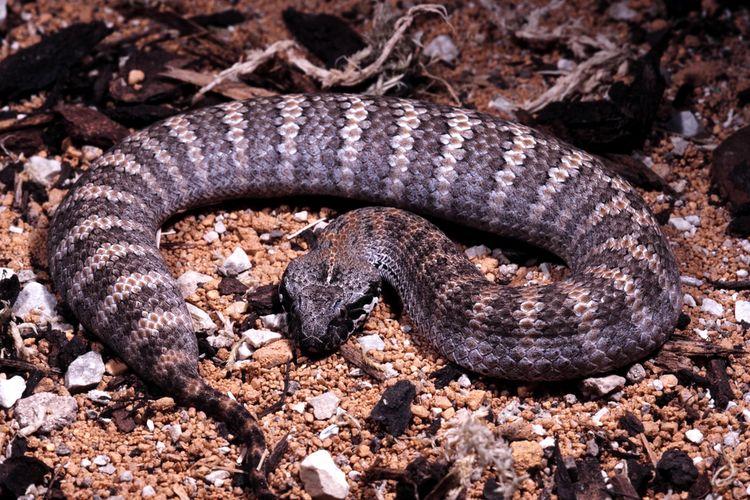 Gigitan ular cukup seram mendengarnya.