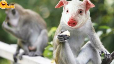 Anak Babi DNA Monyet